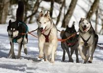 Šumava - zážitková jízda na psím spřežení od 1 390 Kč